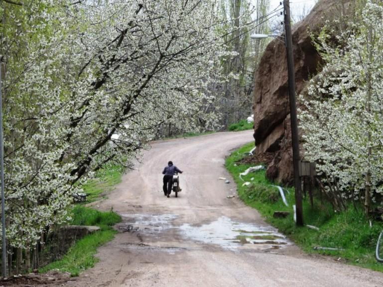 Cherry blossoms in Gazor Khan