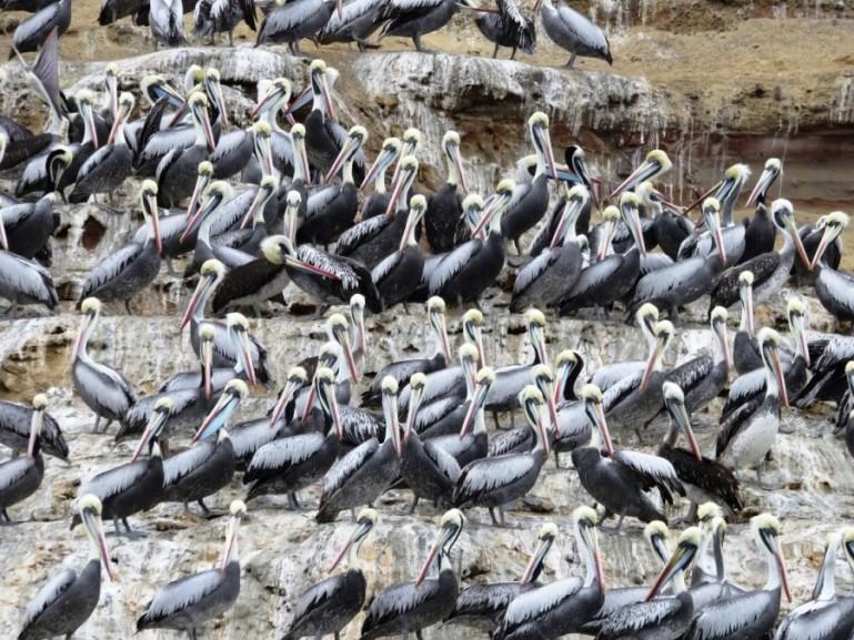 hundreds of Pelicans at Islas Ballestas in Ica Peru