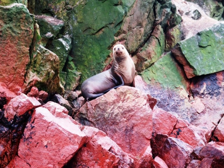 sea lion at Islas ballestas, one of the top things to do in Paracas