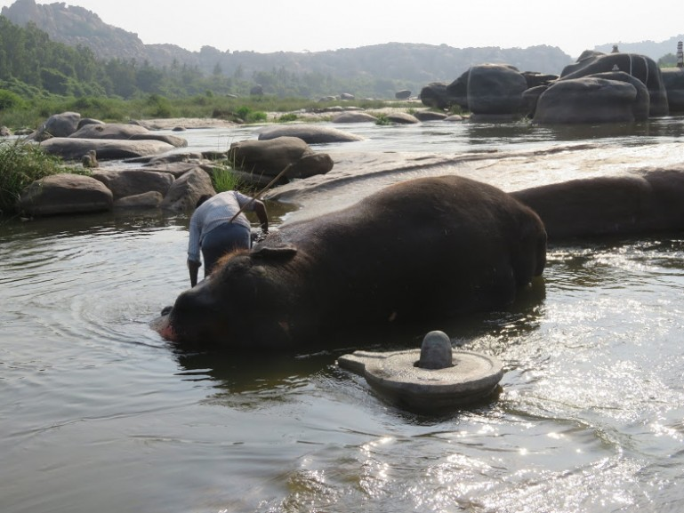 Laxmi the temple elephant bathing in the river in Hampi