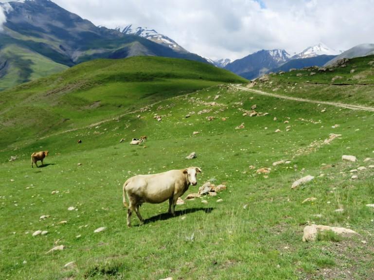 A cow in Azerbaijan's mountains in Xinaliq, Khinaliq, Khinalug