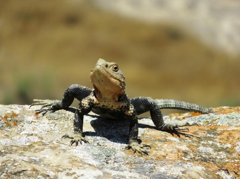 Lizard in Gobustan and the Absheron Peninsula