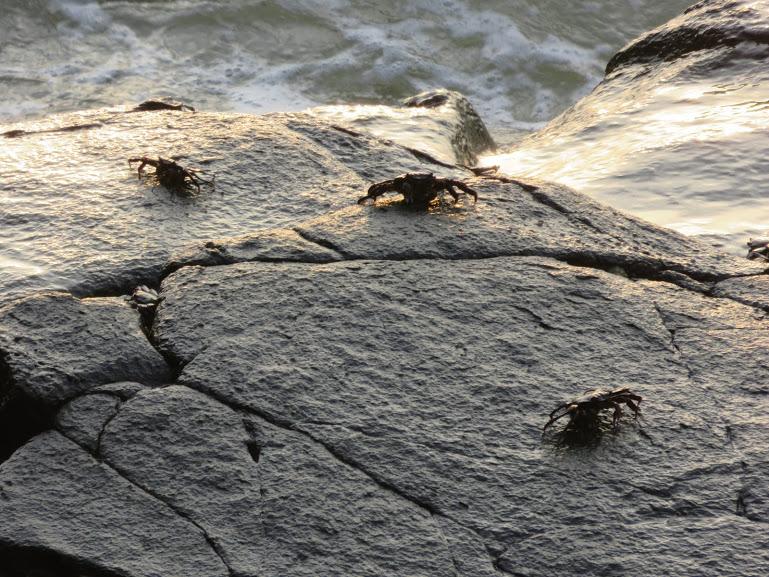 crabs on the beach in Gokarna