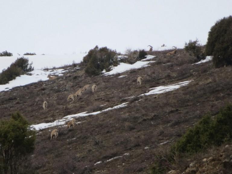 Tien Shan Argali in Aksu Zhabagly National park