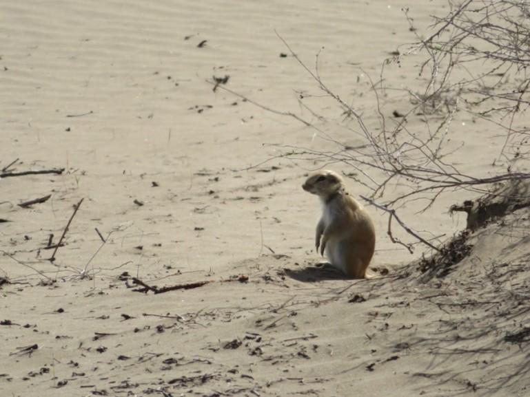 desert squirrel in Karakalpakstan