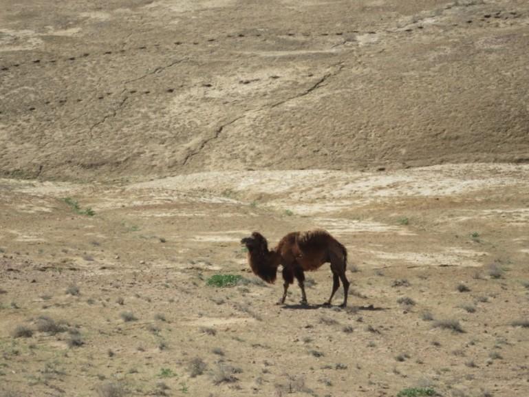 Camel at the Ayaz Kala Yurt camp in Uzbekistan