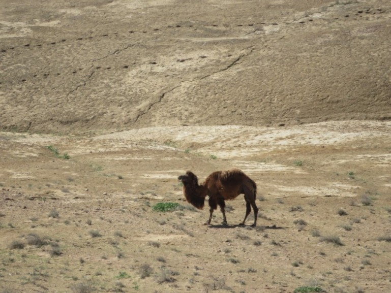 Camel in the desert in Uzbekistan on the way from Khiva to Bukhara