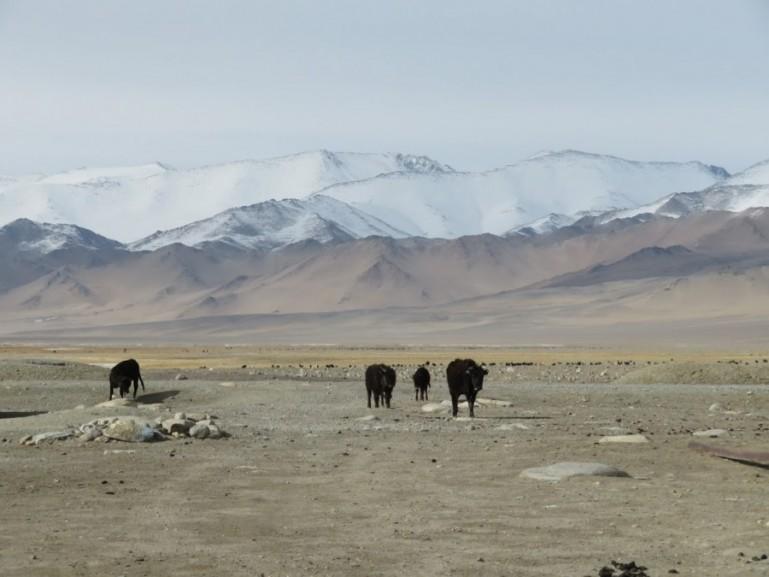 Yaks in Karakul on the Pamir highway Tajikistan