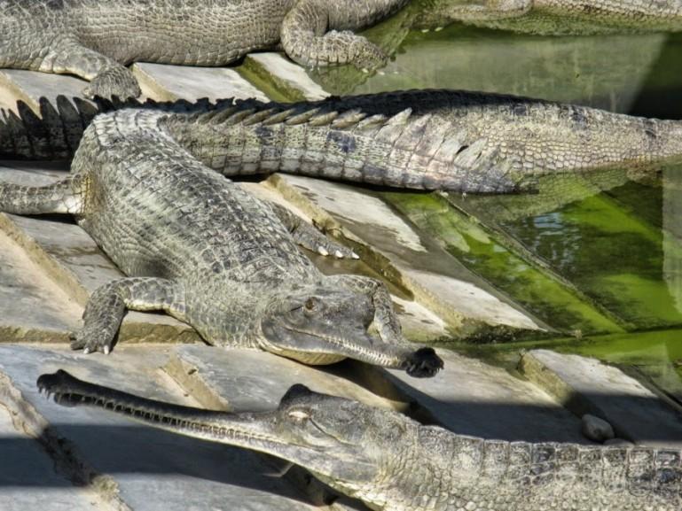 Crocodile breeding center in Bardiya National Park