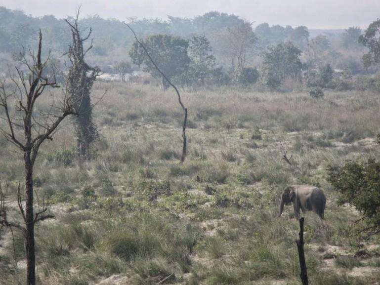 Wild elephant in Bardiya National Park