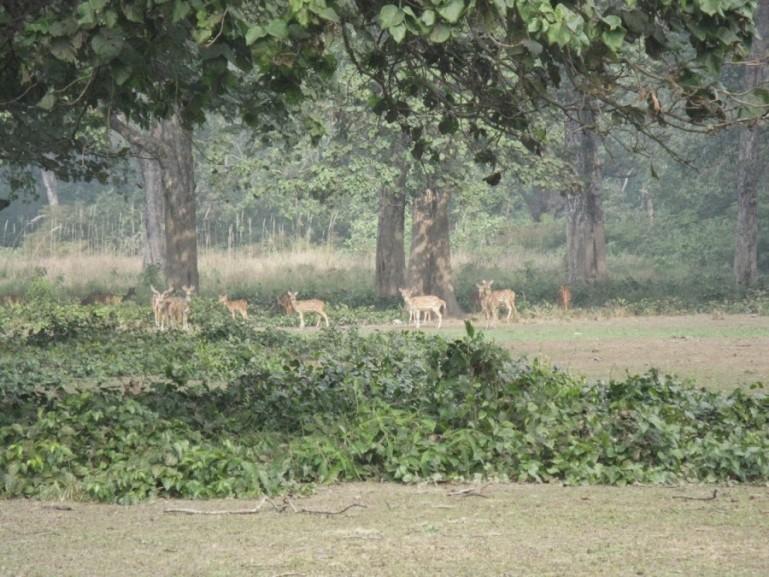 Deers in Bardiya National Park