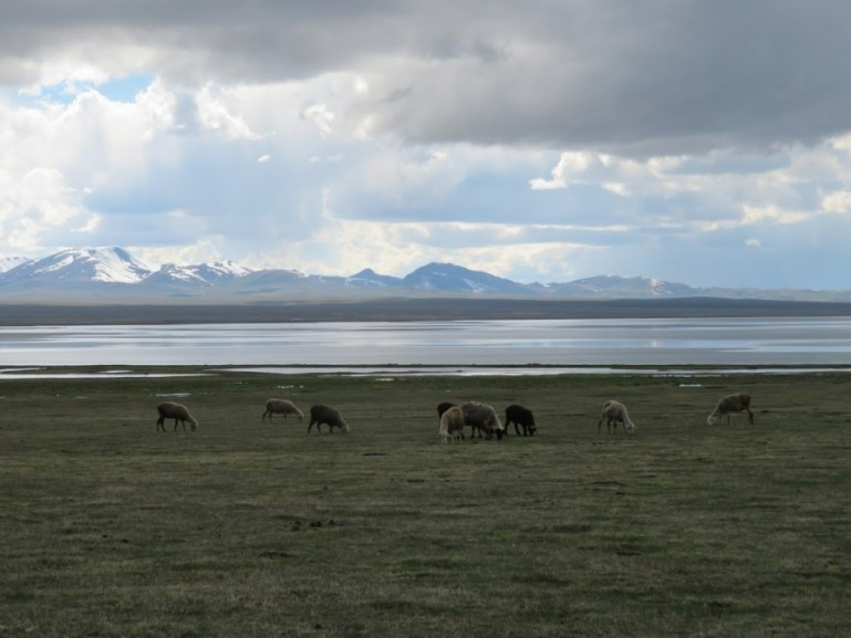 Sheeps grazing on the shore of Song kul lake in Kyrgyzstan