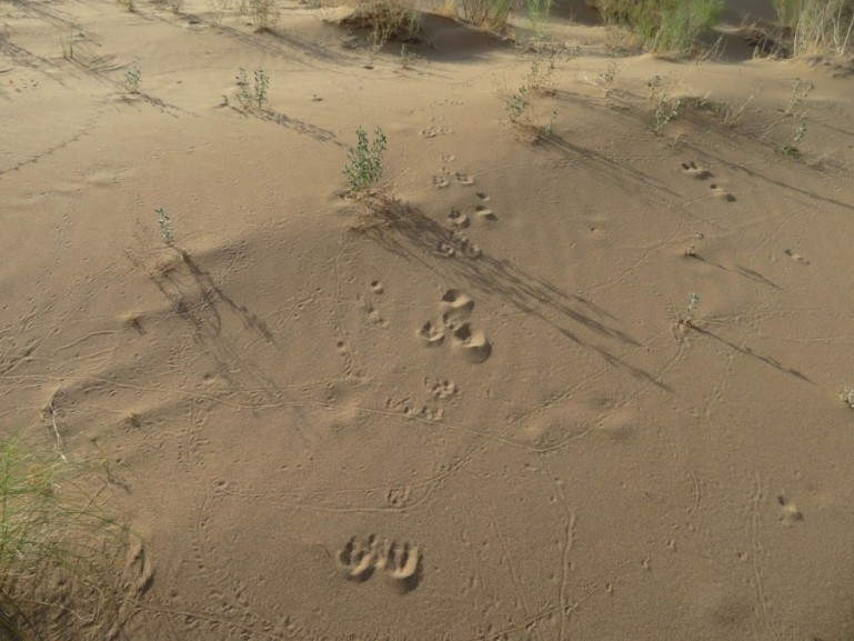 Animal prints in the sand dunes in Altyn Emel National park