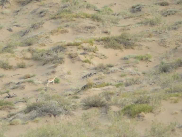 Gazelle in Altyn Emel National park