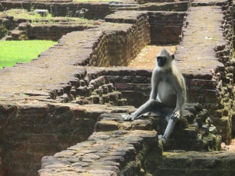 Monkey in Sigiriya Sri lanka
