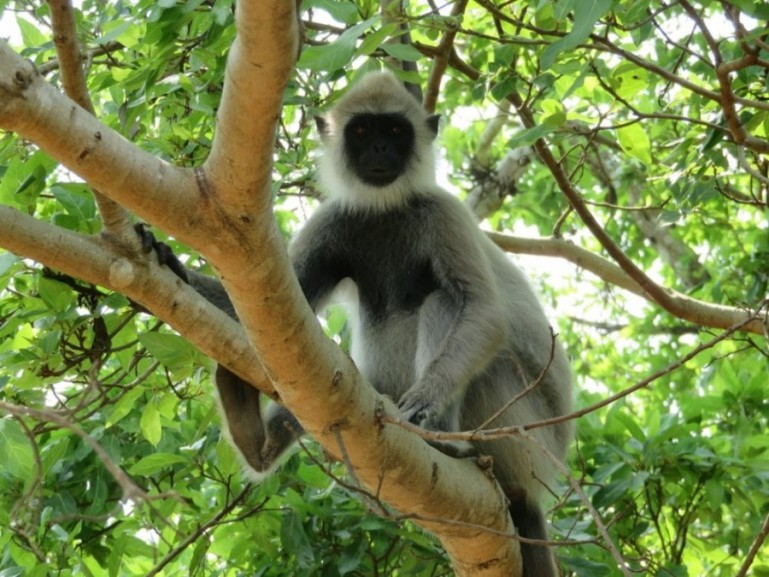 A monkey in Sigiriya Sri Lanka