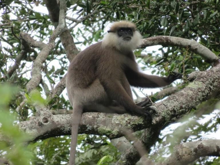 Monkey in pollonaruwa Sri Lanka