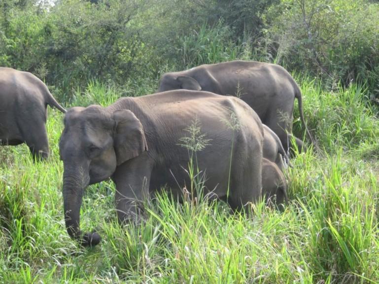 Elephants in Minneriya national park in Sri Lanka