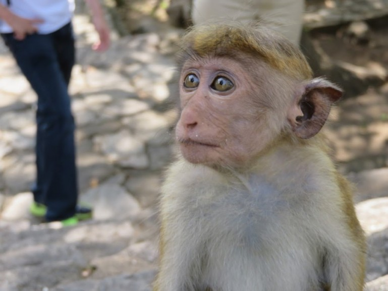 monkey in Dambulla Sri Lanka