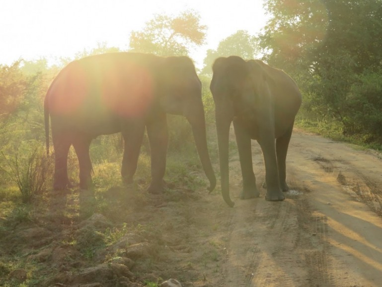 Elephants in Udawalawe. You will almost certainly see the Asian elephant in the national parks in Sri Lanka