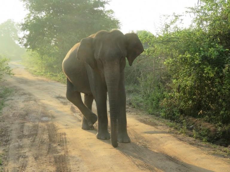Elephants in Udawalawe national park in Sri Lanka