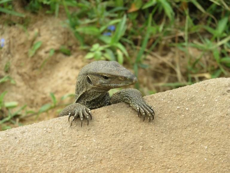 Monitor lizard in Yala National Park in Sri Lanka