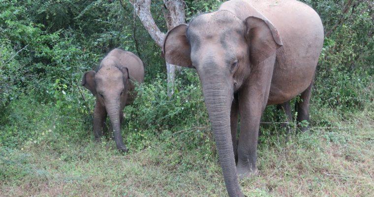 The best National Parks in Sri Lanka: Minneriya, Udawalawe or Yala
