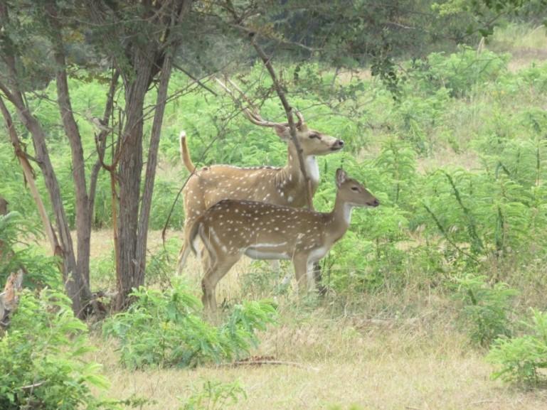 deers in Yala National Park in Sri Lanka