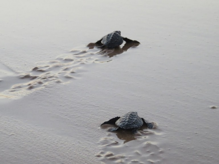 Baby turtles heading back to the ocean at Kosgoda's turtle conservation project