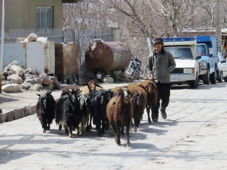 men hearding sheep in Iran
