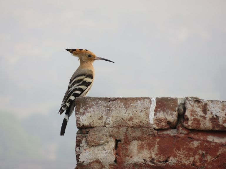 Hopoe bird in Bharatpur India