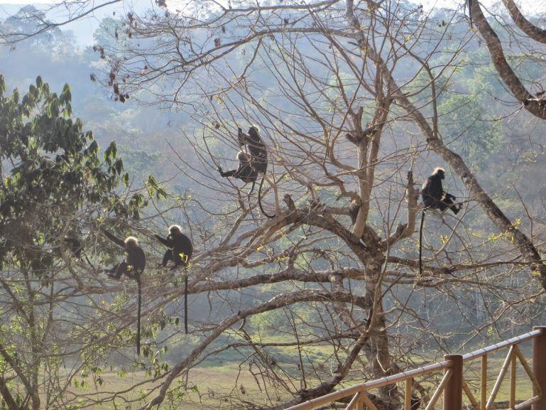 Monkeys in wayanad