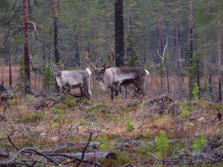 Reindeer grazing in the forests of Muddus National Park