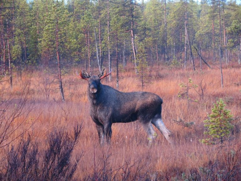 Occasionally Moose is on the menu in Lapland