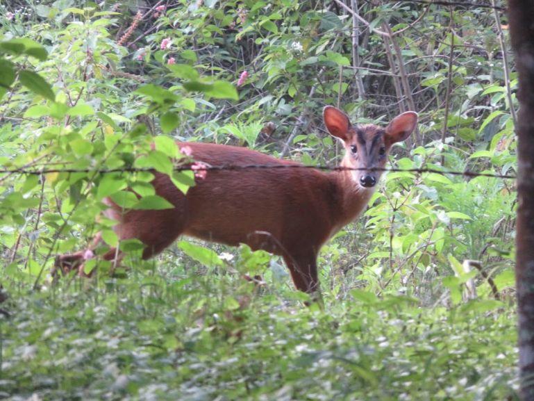Barking deer in BR Hills, Karnataka, India