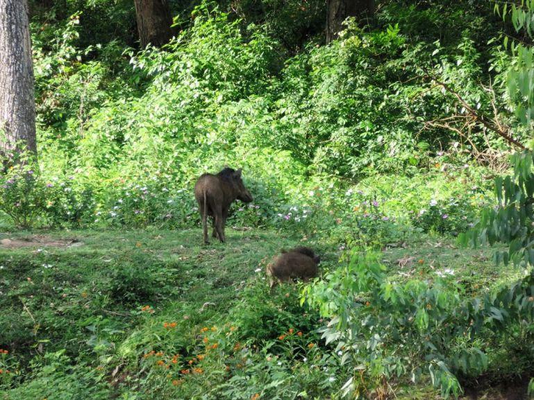 Wild Boar near K.Gudi wilderness camp in Karnataka, India