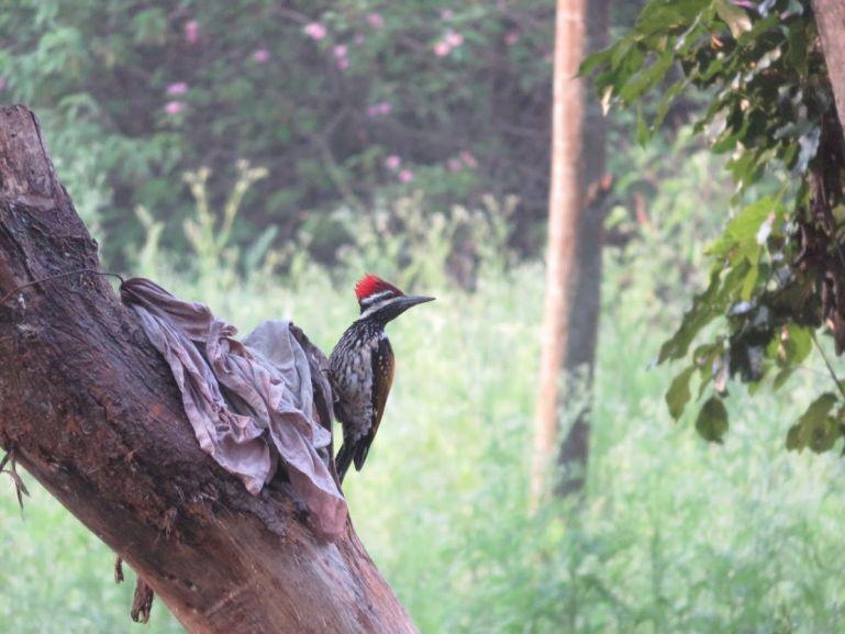 Woodpecker in BR Hills in Karnataka, India