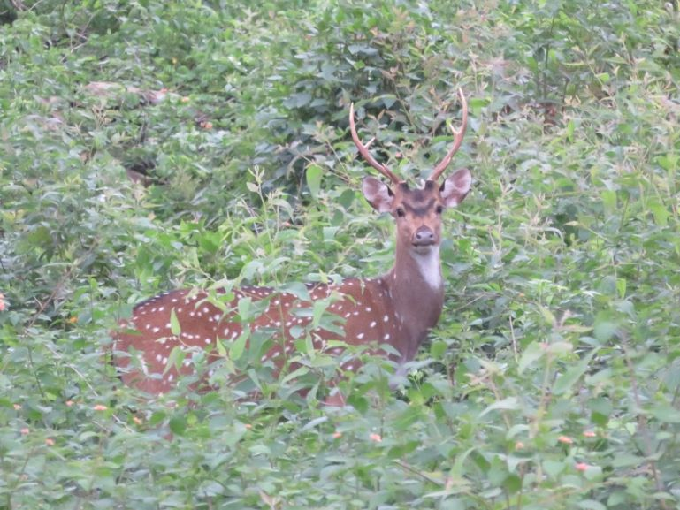 Deer near K.Gudi wilderness camp in Karnataka, India
