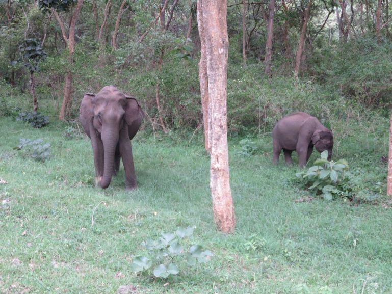 Elephants in BR Hills, Karnataka, India