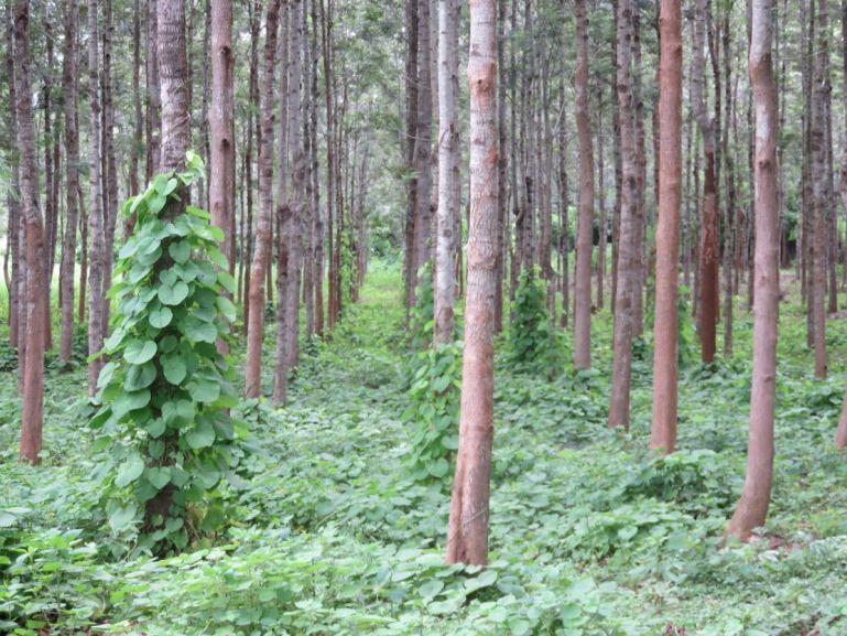 Coffee plantations in Karnataka, India